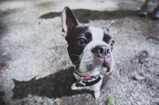 Boston Terrier puppy close up portrait at Portland Oregon dog park