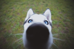 Husky puppy close up portrait at Portland Oregon dog park