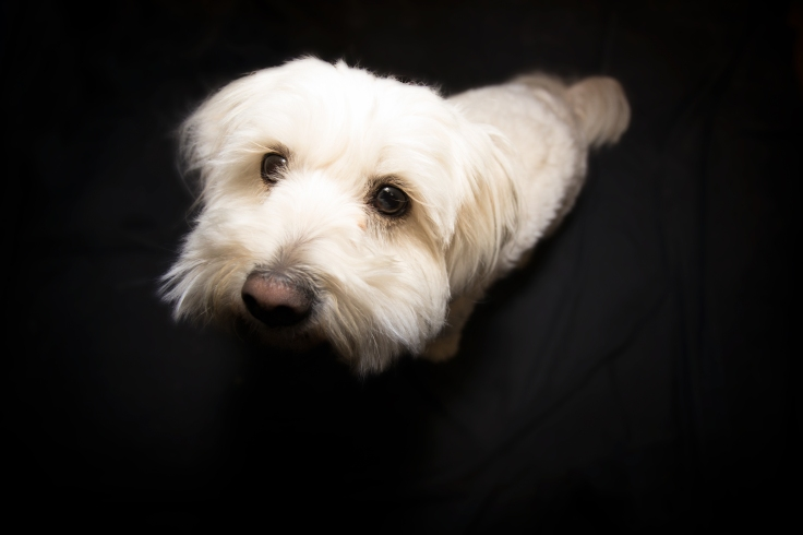 highangleportraitofsmallwhitedogwithdarkbackground
