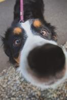 Bernise Mountain Dog Puppy close up portrait at Portland Oregon dog park