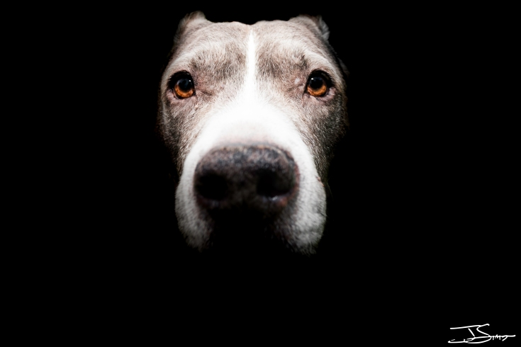 Pit Bull close up portrait
